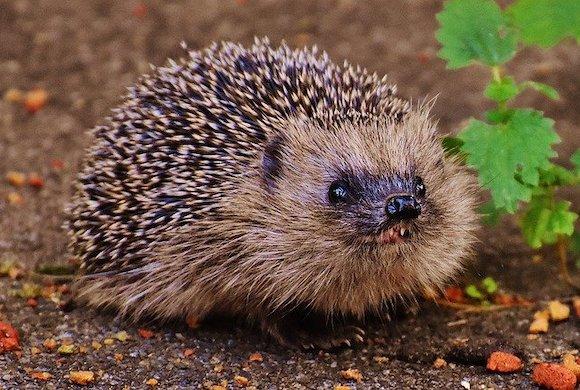 Young hedgehog smiling
