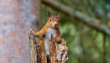 Red Squirrel standing on branch