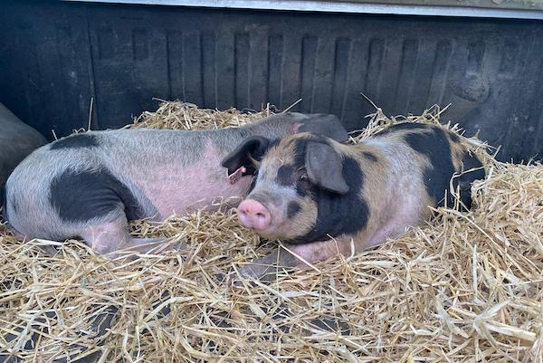 Cagney & Lacey, the Nature Reserve pigs