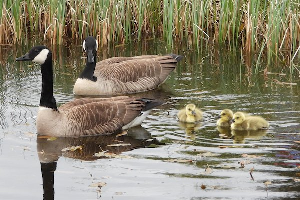 Canada Geese Couple & Canada Geese Goslings