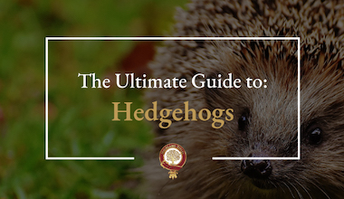 The Ultimate Hedgehog Guide Featured Image