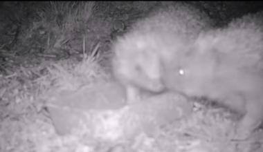 Hedgehog Caught by SpyCam