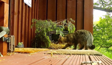 Hope, our hybrid Scottish Wildcat caught by the Spycam