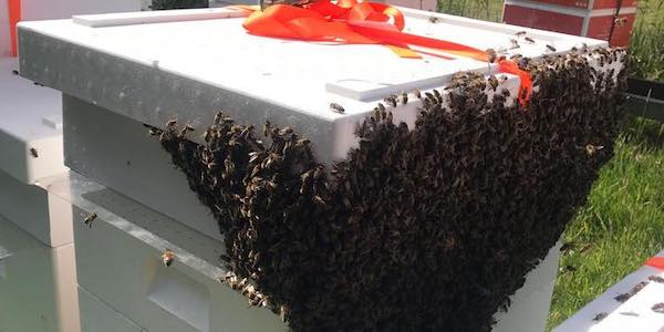 Sværm af bier på bikuber