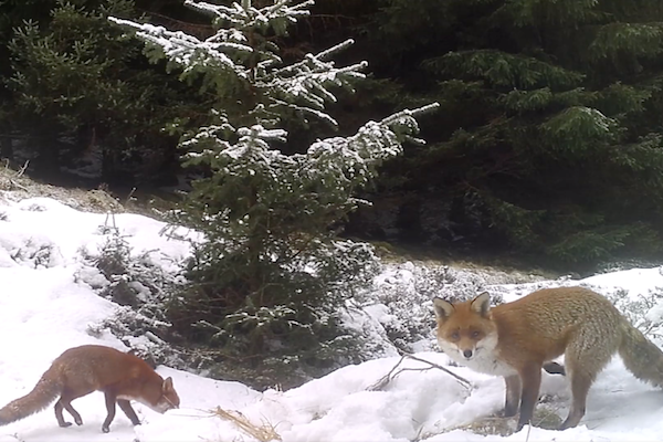 Red foxes playing in the snow