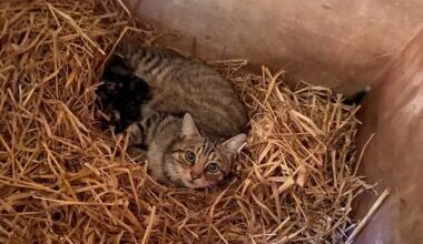 Hope, our resident hybrid wildcat with kittens