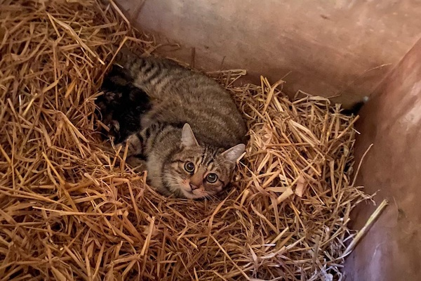 Hope, our Hybrid Scottish Wildcat, and 3 kittens