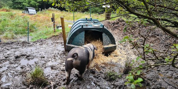 Cagney and the pigs' accommodation