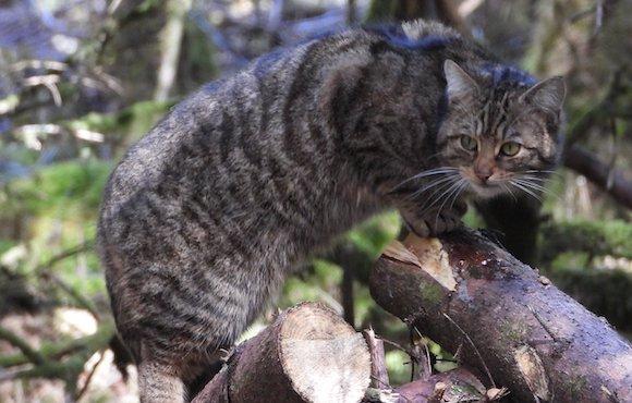 Hope, our Resident Hybrid Scottish Wildcat