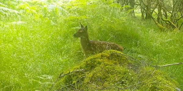 SpyCam Footage of Deer Calf