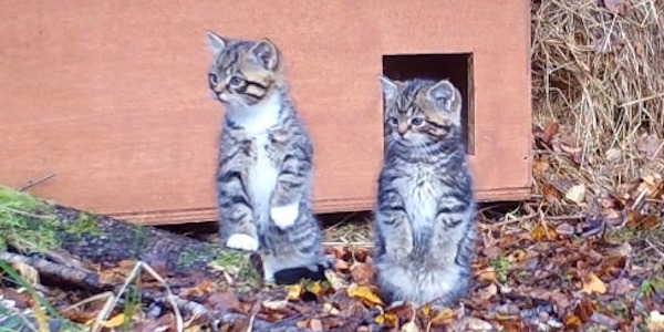 Two Potential Scottish Wildcat Kittens