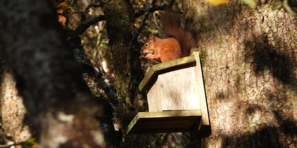 Red Squirrel in Habitat Box