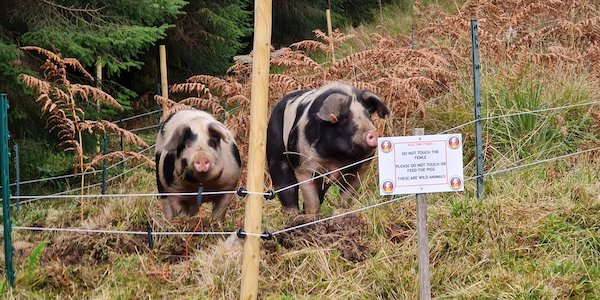 Cagney and Lacey, the Saddleback and Gloucestershire Old Spot cross piggies