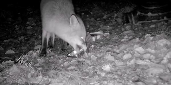 Fox Stealing Bowls