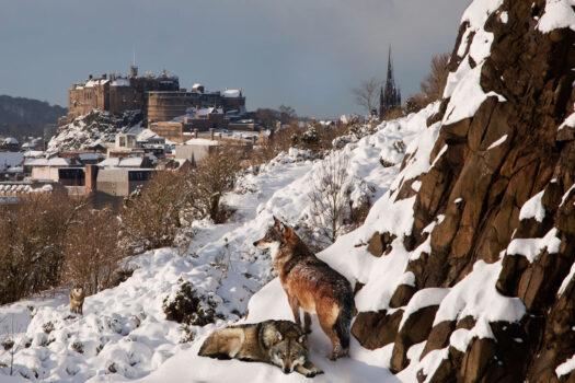 Wolves overlooking Edinburgh