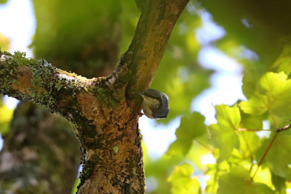 Nuthatch bird at the Nature Reserve