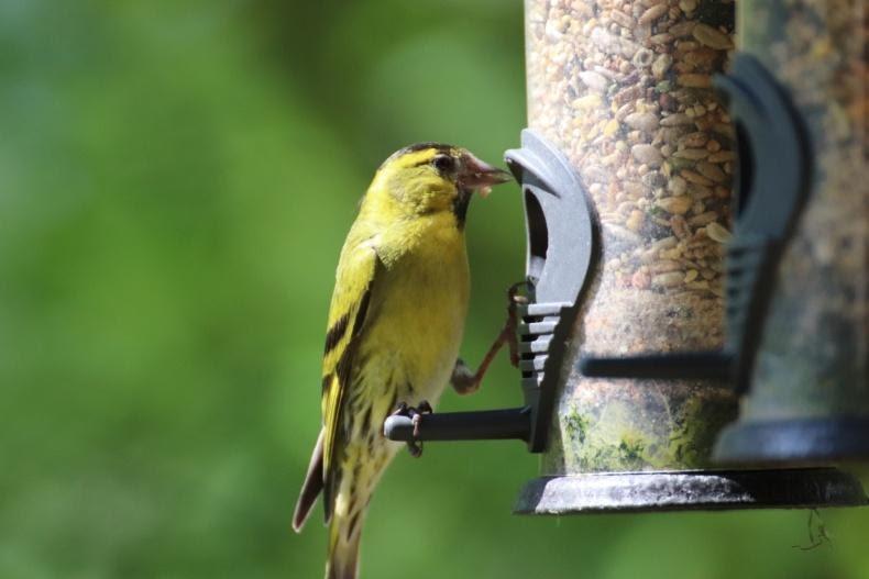 Dominance Hierarchy of Scottish Garden Birds: A Thesis
