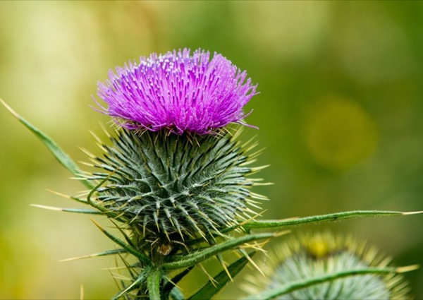 The Scottish Thistle: Purple, Powerful and Proud